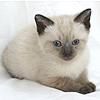 complete replacer kitten cat